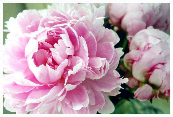 Peony season is here wedding flowers by elisma rose pinkpeony mightylinksfo
