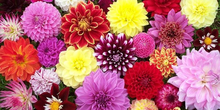 Dahlia-flowers..jpg